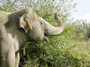 Valli the Temple Elephant