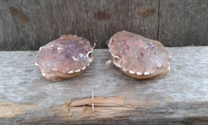 Two crab shells, facing each other, on old wood.