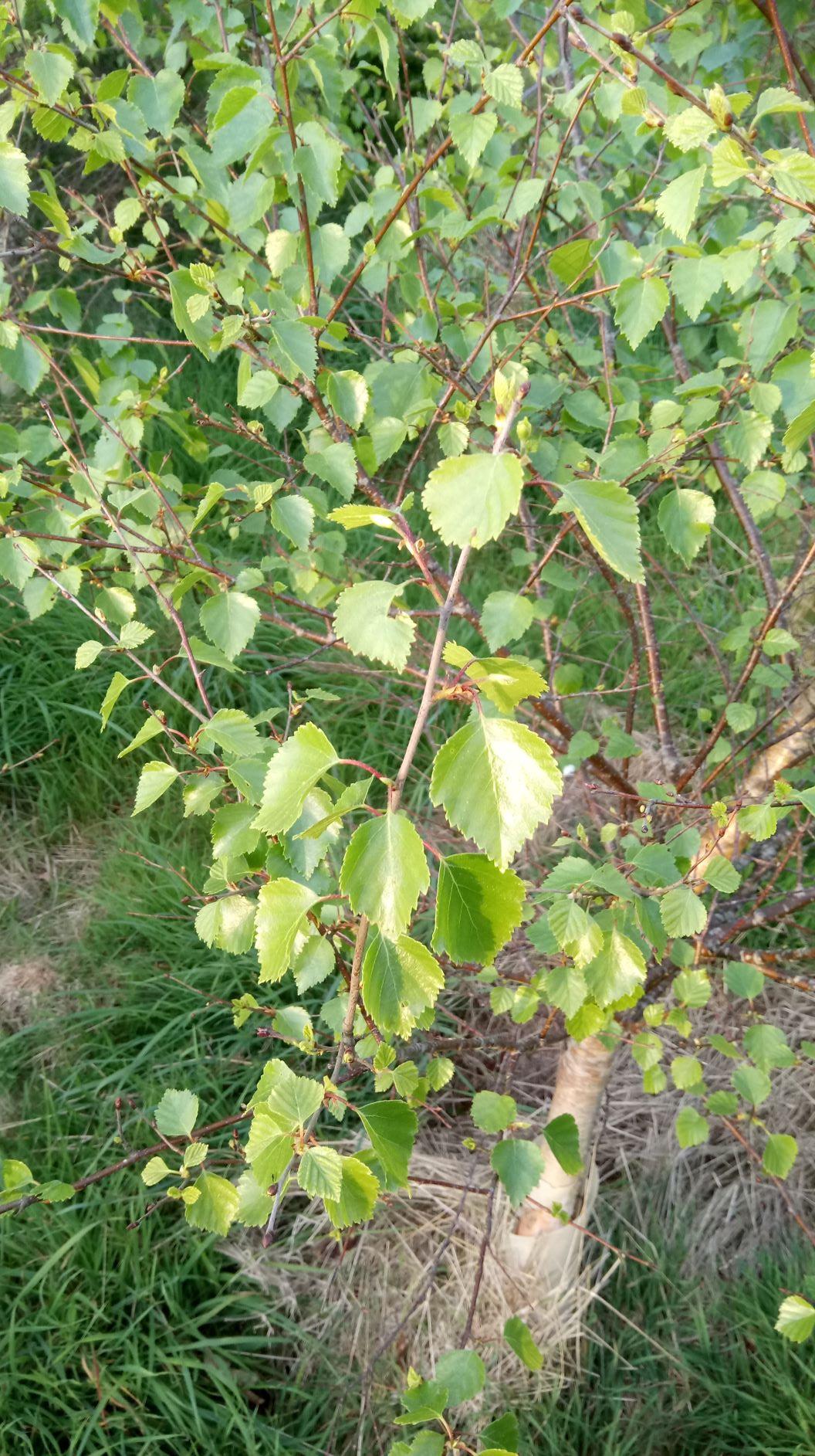 birch leaves in sunlight