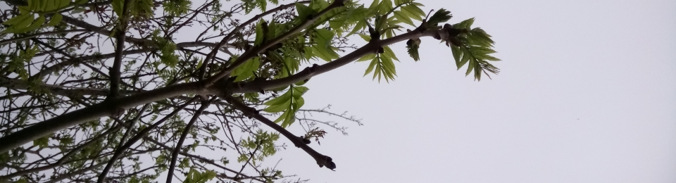 the tips of an ash branch with new leaves against the grey sky